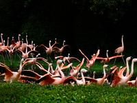 beautiful flamingo birds