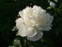 White Peony 4