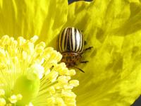 Patatoe Beetle