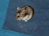 Hamster (russian dwarf)