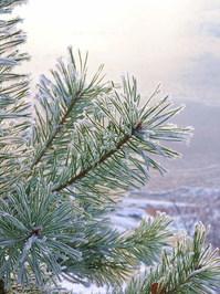 frozen pine-needles