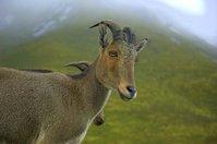The wild goat 2