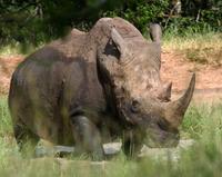 White Rhino 2