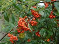 red berries 1