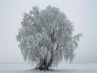 [PL] Frozen tree