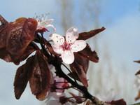 Purple Cherry Plum