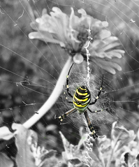 lady spider