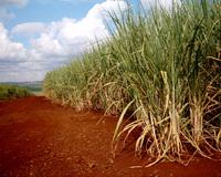 Sugar Cane 3