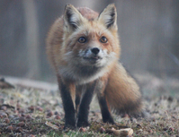 Red Fox in the Wild 3