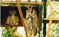 Brazilian's owl 1