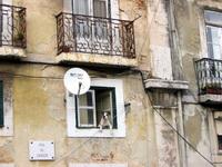 Lisbonese Dog