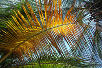 hoja de palmera