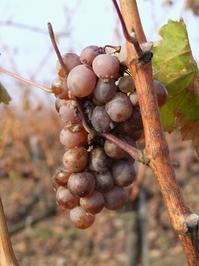 """Tokaji Aszu """"Raisin wine"""" grapes"""