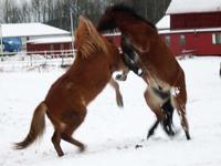 Icelandic horses in diffrent s