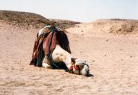 sleepy camel