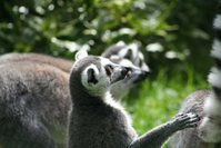 lemur question