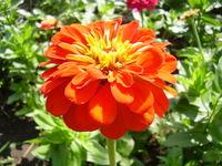 Ukranian flower