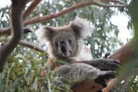 Koala in Southern Australia