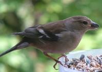female finch 2