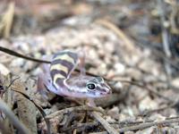Desert Lizard 2
