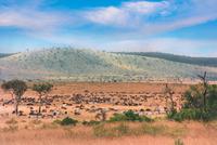 Gnus and Zebras in Masai Mara