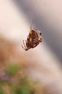 Orb Weaver Spider 1