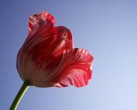 tulip babes