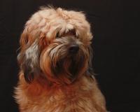 Cute Tibetan Terrier