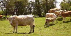 Cows - 1