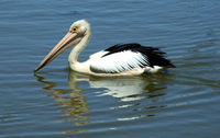 pelican reflections 1