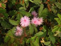 fabaceae flower type