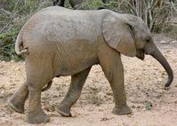 small elephant baby