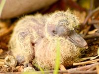 Turtledoves 5