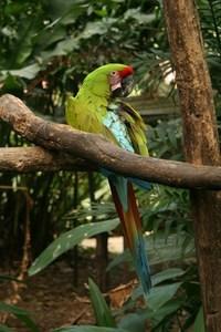 Green Macaw 1