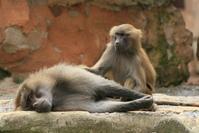 Monkey / baboons