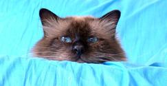 Birman Cat series 9