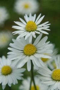 Daisy's 3