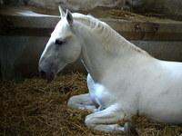 Lipican horse