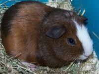 guinea pig 'karel