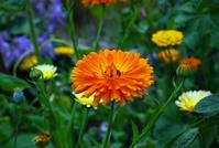 marigold-calendula