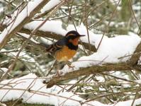 Varied Thrush in winter