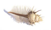 Venus Comb Shell 511
