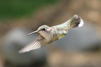 Hummingbird 1 2