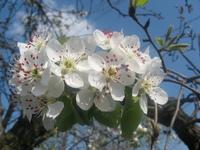 pear blossom 5