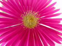 Flower,Pink