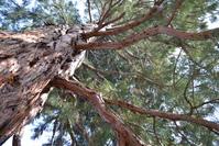 mammoth pine tree