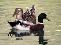 Twosome ducks