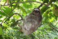 Sloth, Panama