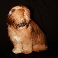 Tibetan Terrier 5