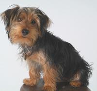 My pet YORKSHIRE TERRIER PUP